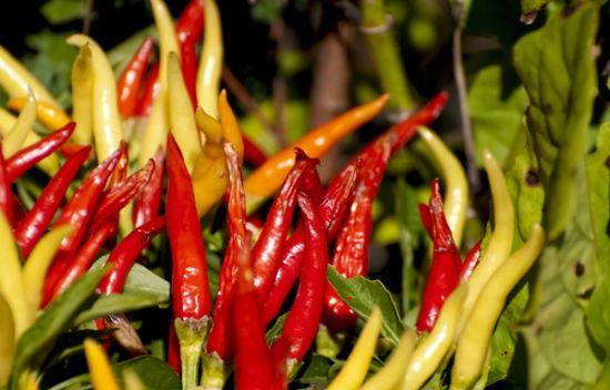 太鲜红的辣椒小心购买