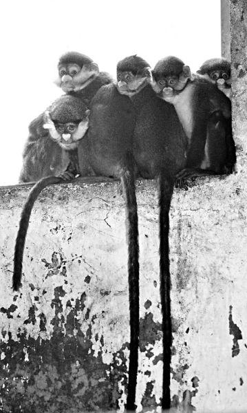 白鼻长尾猴的尾巴长长拖下,蹲在墙上,白色的鼻子对着镜头摆pose本报记者刘江摄