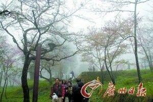 阿里山的樱花在雾中若隐若现