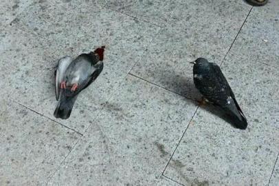 另一只信鸽一直守护着受伤死亡的鸽子(左)。