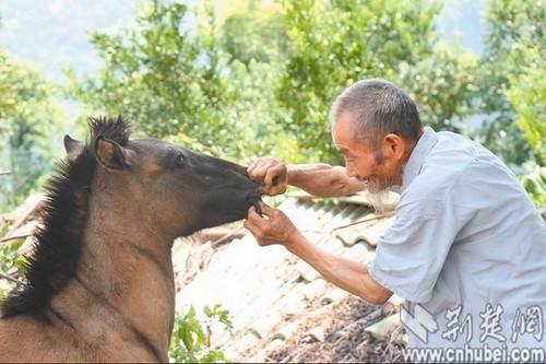 图为:老人在检查小马驹的牙口