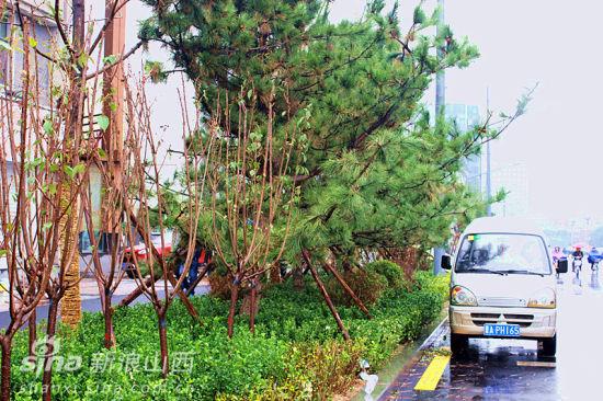 适合北方种植的松树