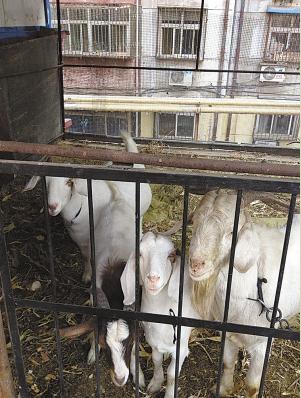 生活在房顶上的山羊。 本报记者 王彬 摄