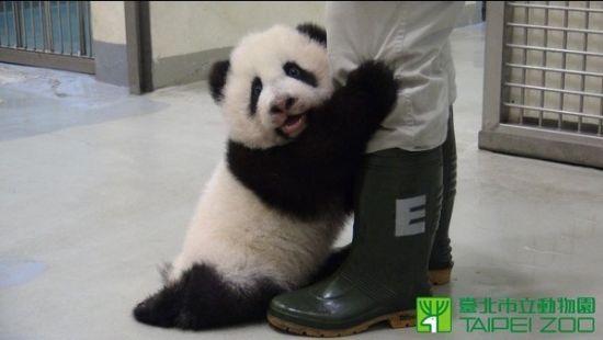 台湾大熊猫撒娇
