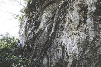 粗壮的树根和藤蔓