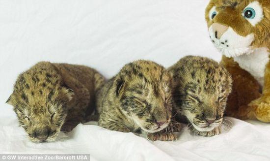 美国首批狮狮虎降生:身带黑斑样貌可爱