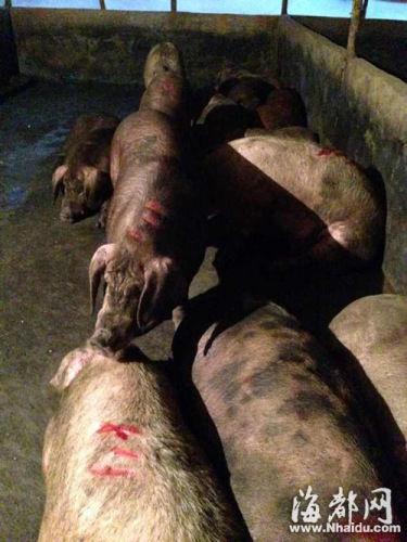 这些猪背上都有刀伤甚至见骨