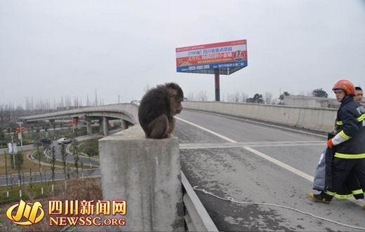 猴子高速路上闲逛 警察被咬到大腿