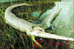 美国护林员发现巨型爬行动物的遗体