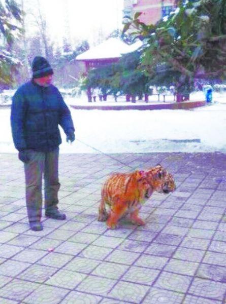 焦作人民公园动物园的饲养员老呼正在遛老虎