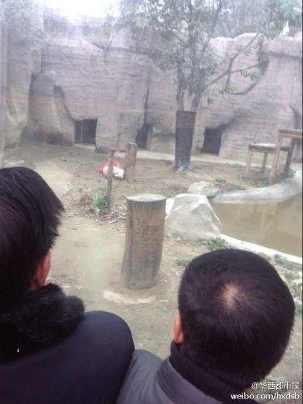 男子翻越动物园围墙挑衅白虎