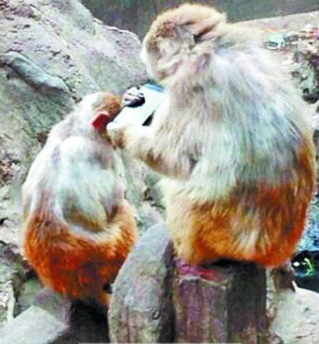 猴子兴致勃勃地玩起了捡到的手机 图片由网友提供