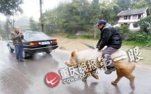 蒋大爷骑着他的种猪出门,洋洋得意。