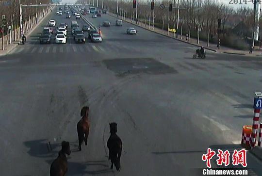 8日上午,5匹高头大马突然出现在烟台街头。(视频截图) 温全福