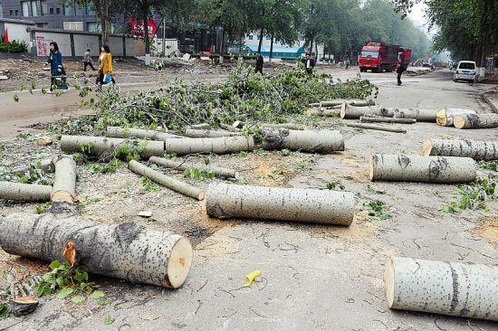 太原长治路两旁的杨树被伐