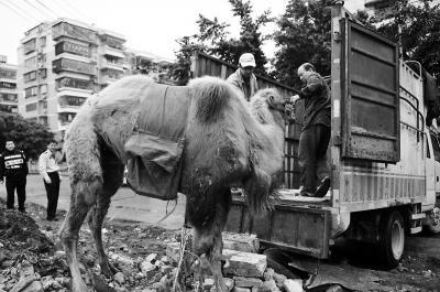 福州市动物园工作人员将骆驼牵上货车