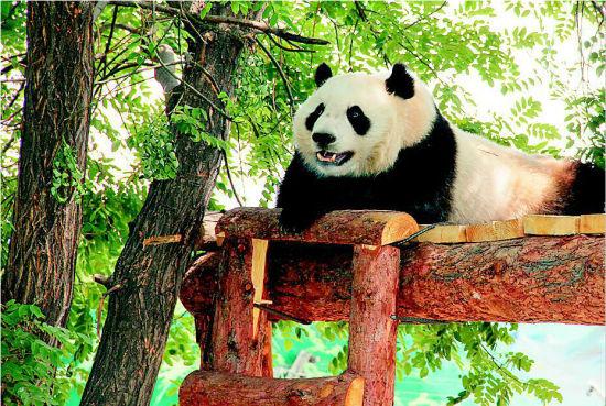 如何去太原动物园_太原动物园将续租大熊猫\
