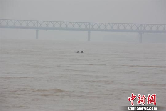 江豚在水中嬉戏
