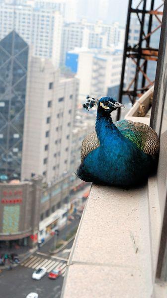 一栋在建高层的18层窗外窄台上,这只美丽的孔雀显得安祥而高贵