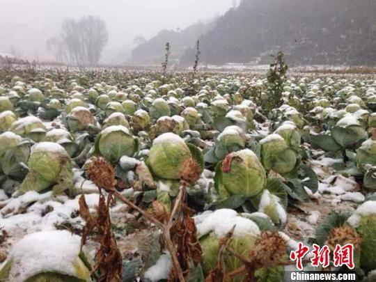 今年秋季以来,山西晋中多地茴子白滞销的消息引发社会关注。王惠琳 摄