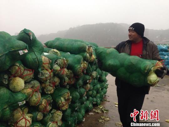 7日,山西企业家王小威在晋中市寿阳县收购4万斤茴子白,所收茴子白都将在太原闹市免费赠送给当地市民。王惠琳 摄