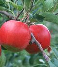 吃苹果有五大好处