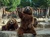 动物园棕熊挥手