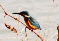 汾河边的翠鸟