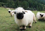 萌翻天的货:瓦莱黑鼻羊
