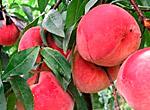 每天吃水蜜桃可预防癌症