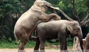 大象发情引美女围观尖叫